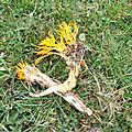 Calocera viscosa (1)