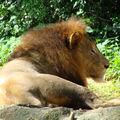 4- le zoo, félins, LES LIONS (13)