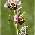 Ophrys fuciflora...