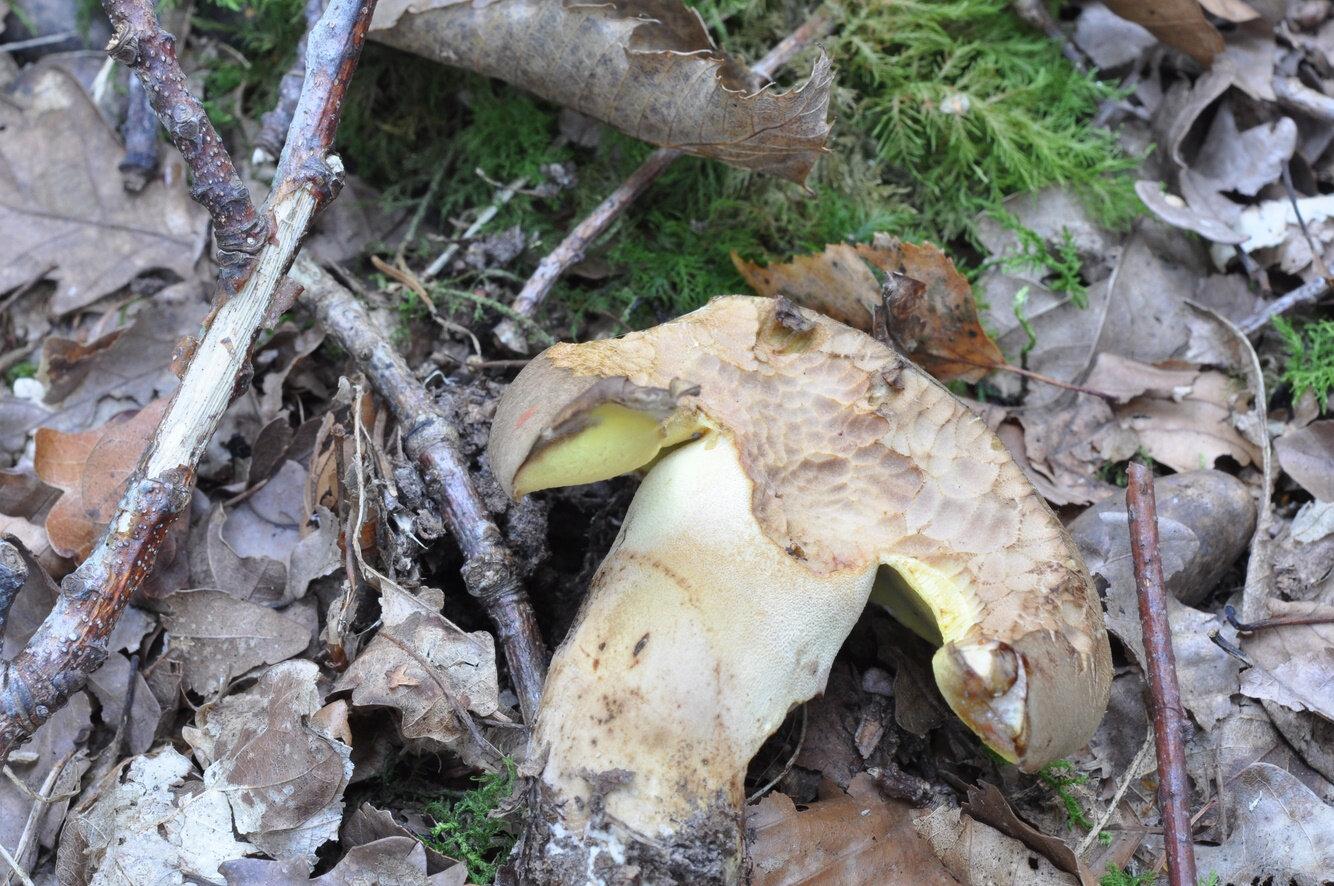 Butyroboletus fechtneri (3)