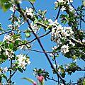 1-Fleurs et pommiers en fleurs 030417