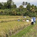 Récolte de riz