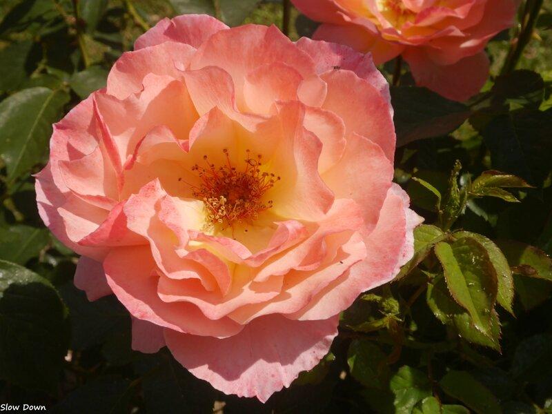Rose saumonée à coeur jaune