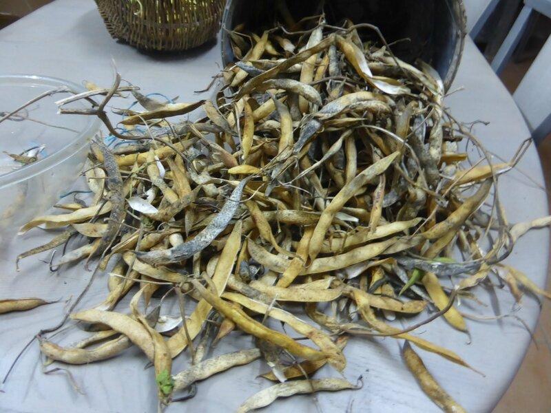 5-haricots tarbais (2)