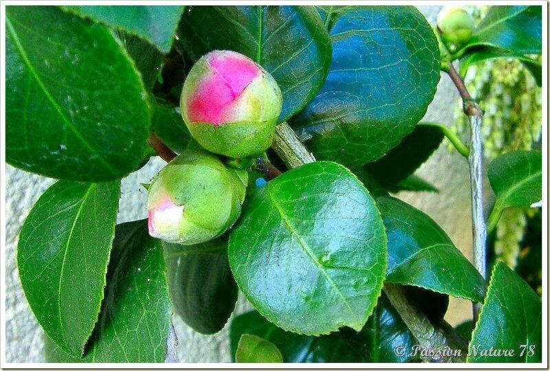 Les premiers bourgeons du jardin (3)