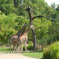Parc de la Tête d'Or à Lyon - Les Girafes