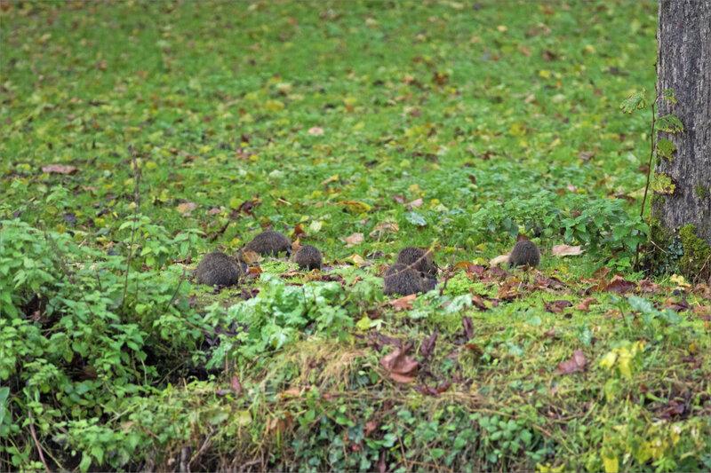Ragondins famille herbe 241119 2