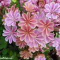 Fleurs Levisia