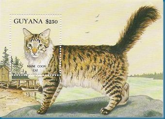 24 - maine coon 2