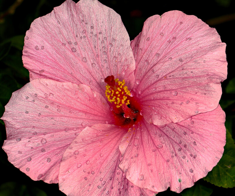 hibiscus-after-the-rain_33356357935_o