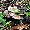 Mycena pelianthina (3)
