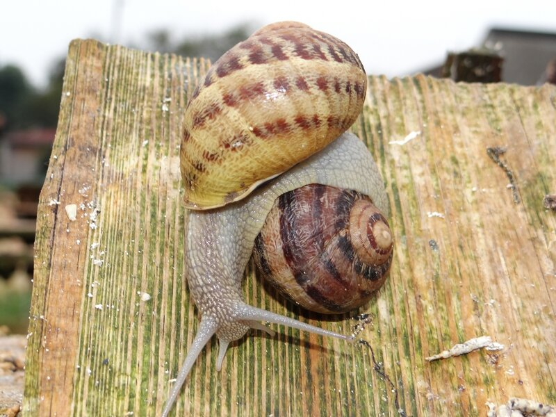 Hermaphrodite, l'escargot s'accouple durant 12H00…
