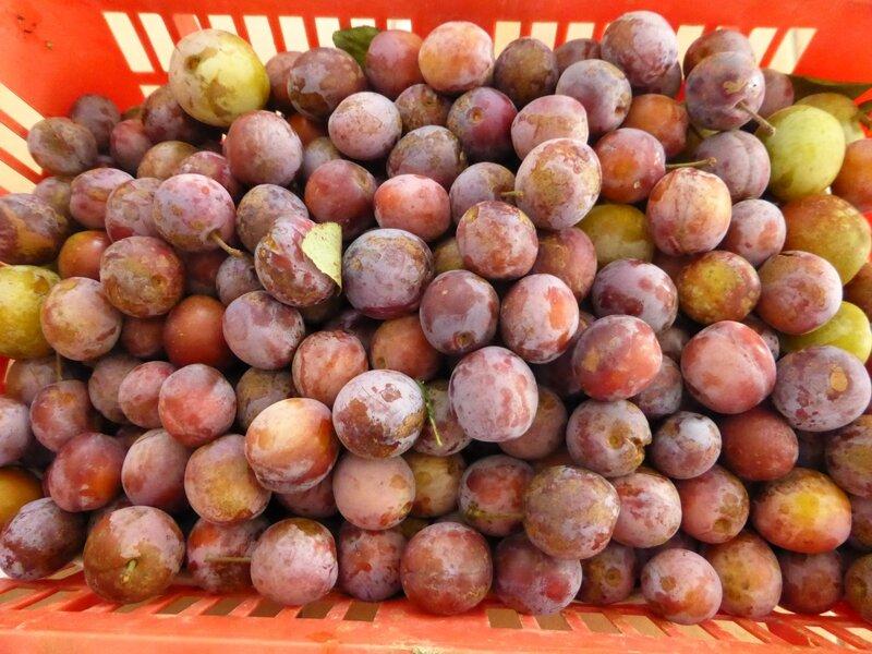 14-prunes Babette (4)