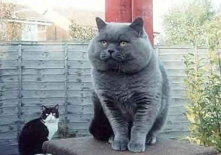 gros_chat