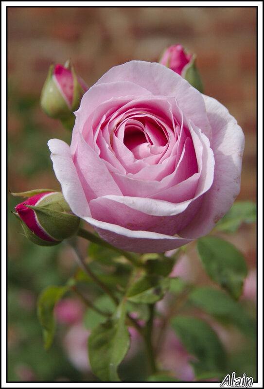Rose(s) au Roeulx