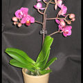 Mini-phalaenopsis n°2 - sogo berry