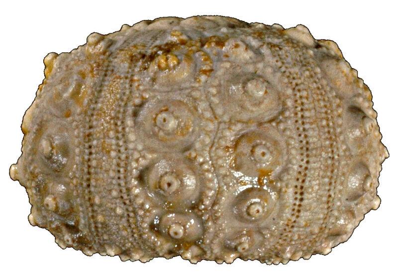 Hemicidaris delaunayi 12032