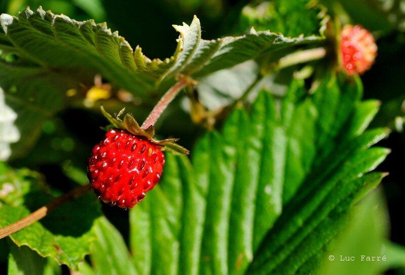 Nivolet_42 fraise a
