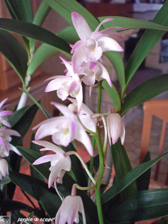 Dendrobium Berry Snow Fairy