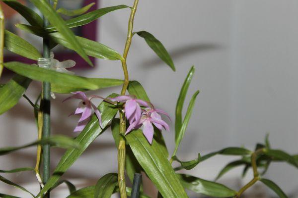 DENDROBIUM Hercoglossum 3