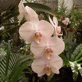 ORCHIDEE ROSE MONICA