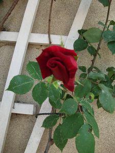 Rosier_mai_2011_5