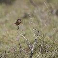 Lesbos oiseaux 33 - Tarier pâtre