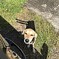 Jeune chienne squelettique qui mendie devant un portail 2jpg