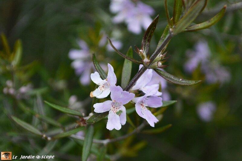 Fleurs-romarin