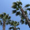 Palmiers au vent