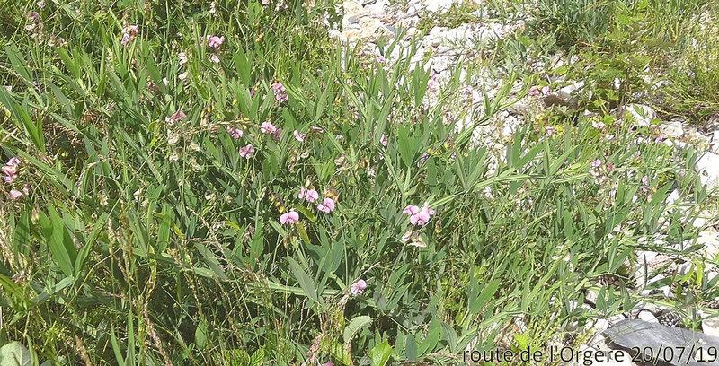 Lathyrus heterophyllus aa