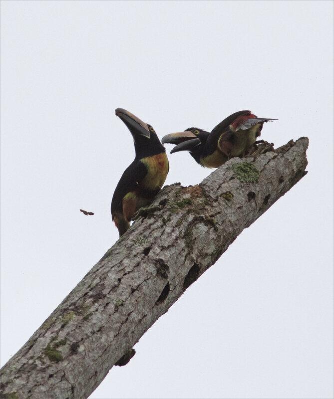 J3 La Fortuna 031219 ym 300 25 arbre mort oiseaux toucan aracari