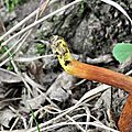 Chalciporus piperatus (4)