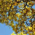 Tabebuia serratifolia - Ipé