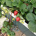 8 novembre - fraises de novembre...bonheur assuré