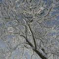 2008 12 17 Arbre givré