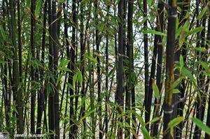 Bambou-noir
