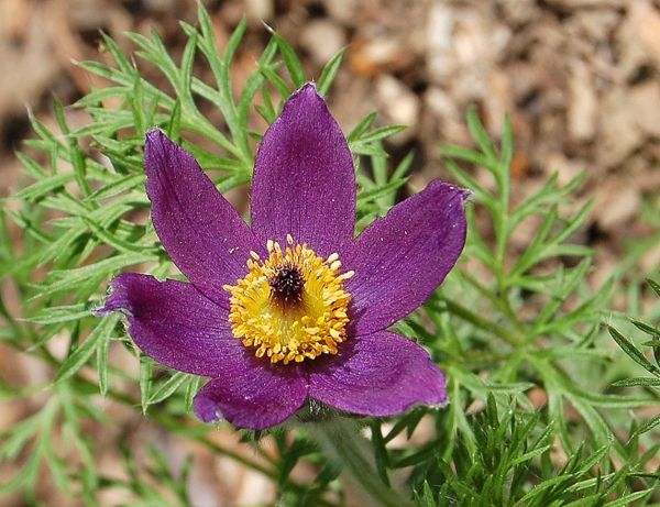 une pusatille ou anemone