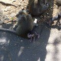 monkeys at monkey temple
