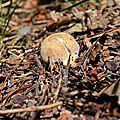 Jeune cèpe d'été près d'un sentier.