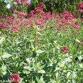 La valériane une plante tout-terrain qui résiste à la sécheresse