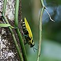 Euchroma gigantea - bupreste - mouche soleil