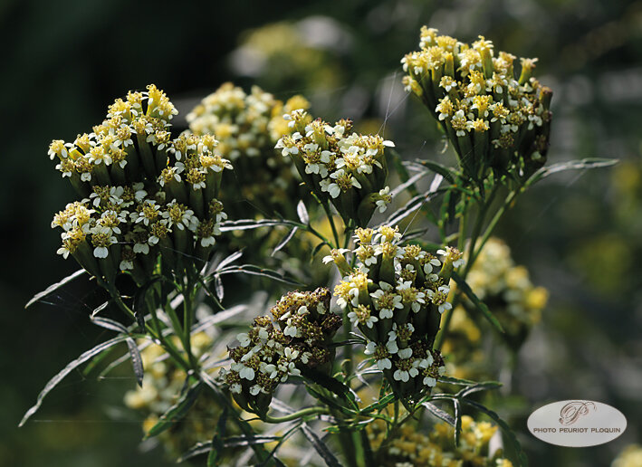 OEILLET_REGLISSE_Tagetes_filifolia