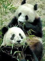 pandas géants5
