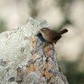 Troglodyte mignon_Monfrague_Espagne_XRu