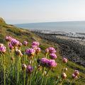 Fleurs côtières