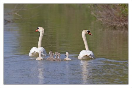 MS_lulu_Moins_famille_cygne_dos_140511