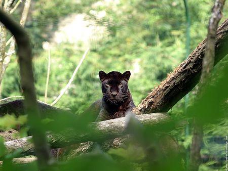 animal_fond_ecran_panthere_noire_02