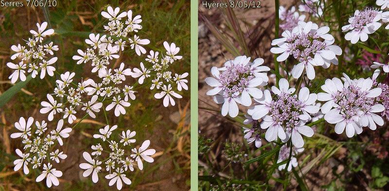 ombellules plus ou moins grêles formées de deux sortes de fleurs