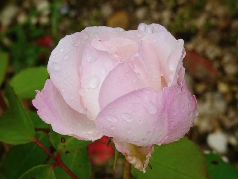 rosier blanc de willemse numero 1